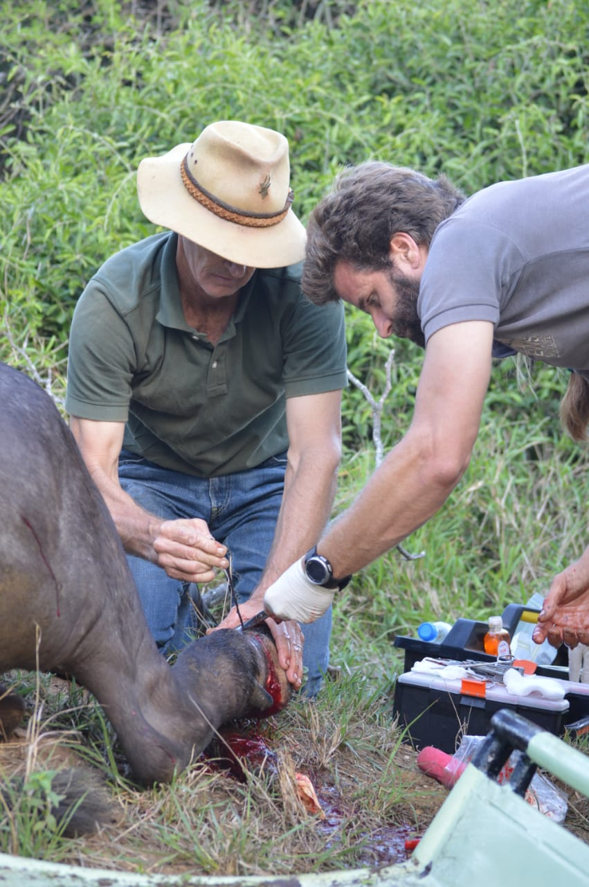 buffalo snare removal