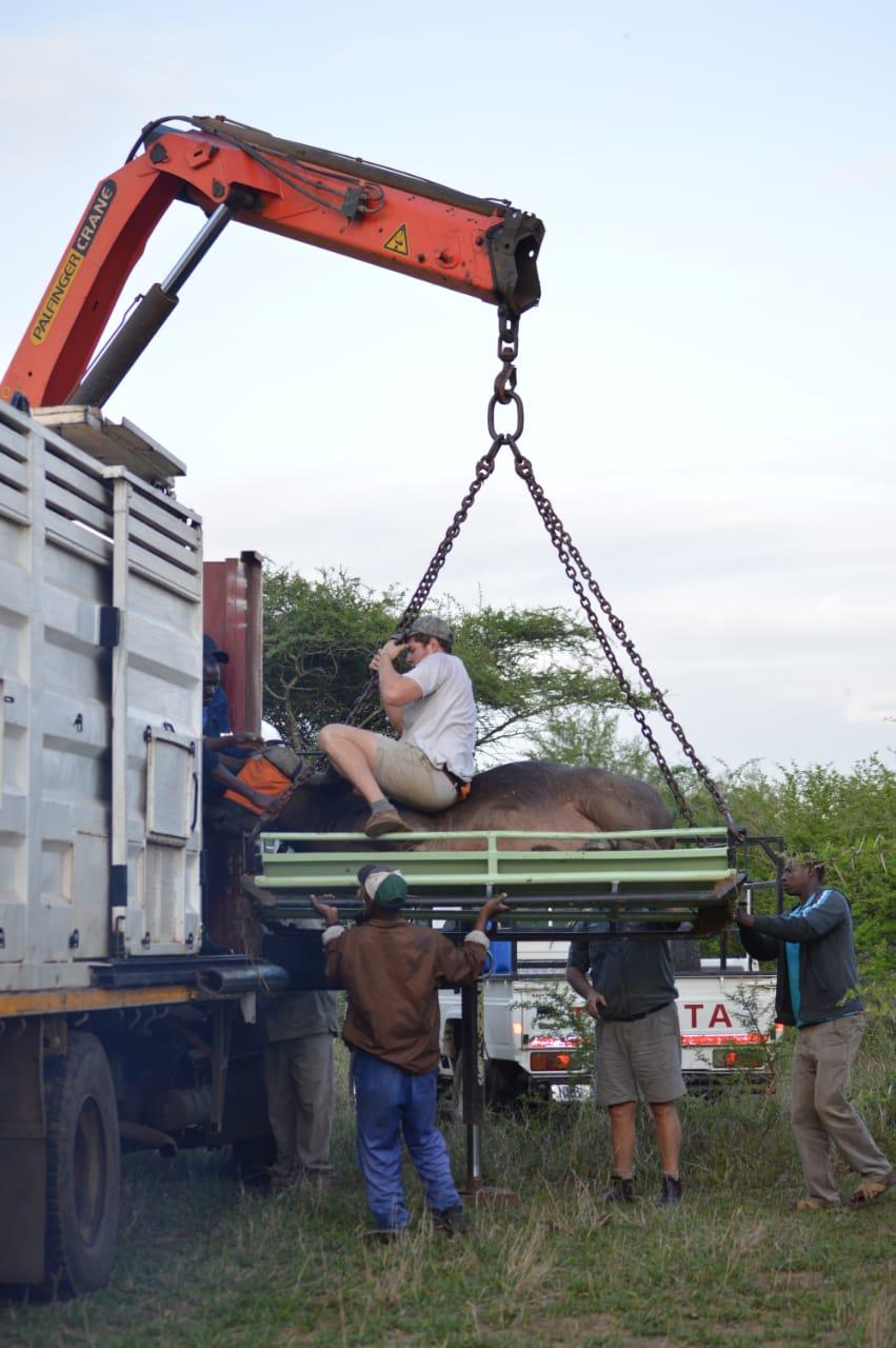 buffalo translocation Maputo Special Reserve