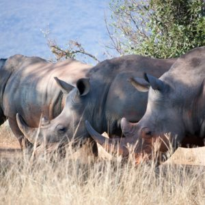 Preventing Rhino Poaching With Microsoft Azure