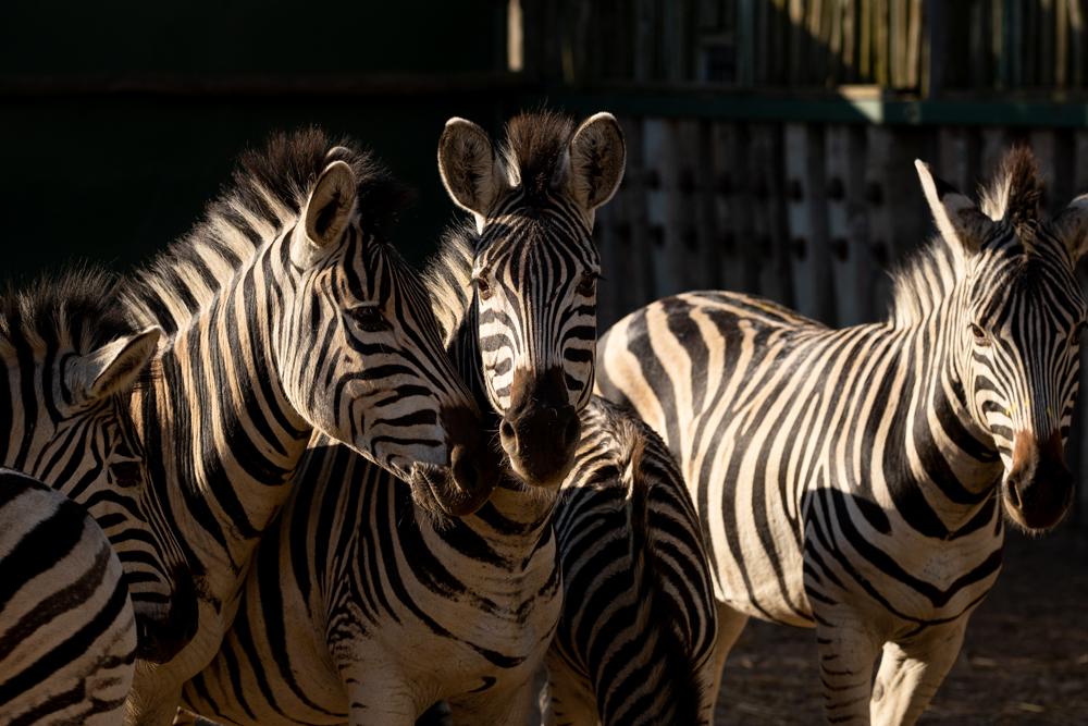 How the zebra and giraffe traveled to Zinave