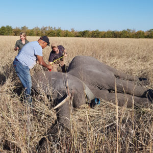 Collaring provides insight into elephant movement