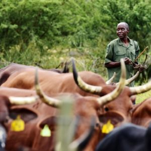 My cattle, your rhinos: South Africa's poverty-and-wildlife conundrum