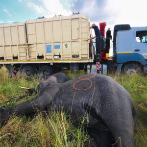 Mozambique's first in-country elephant translocation