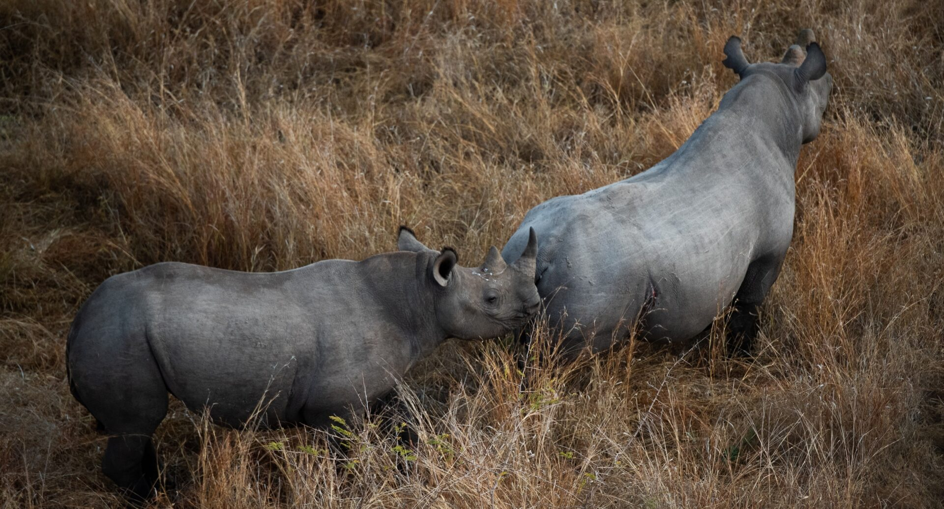 black rhinos from the air